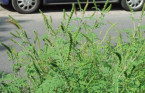 Ragweed found to spread easier along roads with high traffic