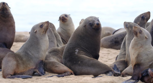 More than 7,000 dead seals found on African beach: conservation group