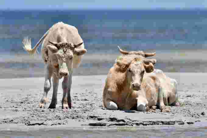 cedar island cows rhonda hunter photography