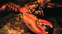 Nova Scotia's lobster industry faces massive setbacks due to COVID-19 impacts