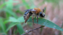 Neonic soil treatment hurts ground-nesting bees, 1st of its kind study finds