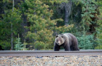 Alberta grizzlies are 'nearly half the size' of Alaska's 'big monsters'
