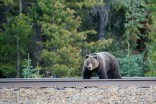 Officials: Derailed Banff train may attract hungry grizzlies