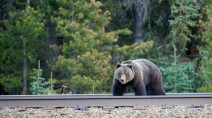 Be alert! Grizzly sightings increasing in this part of B.C.